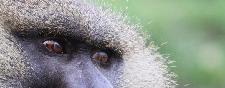 baboon 3