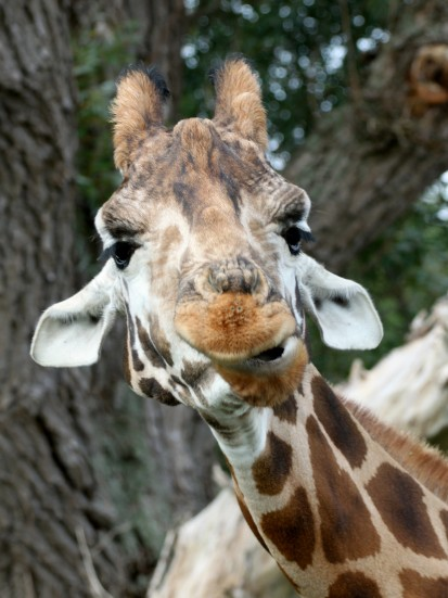 giraffe a